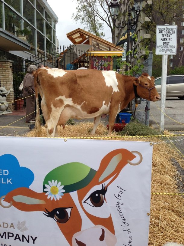 Theme of the day: Guernsey Cow and the milk used to make cheeses.