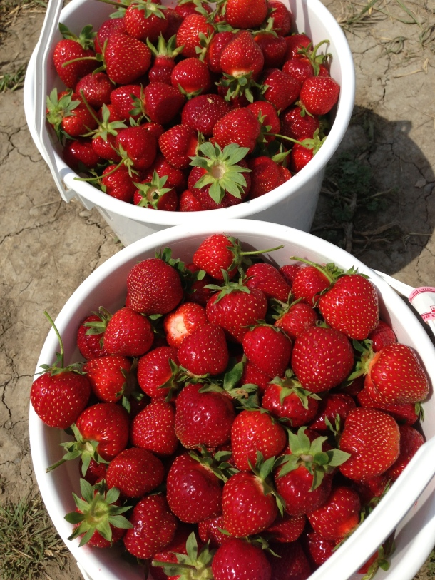 My pickings for the morning - 2 whole buckets of ripe strawberries.