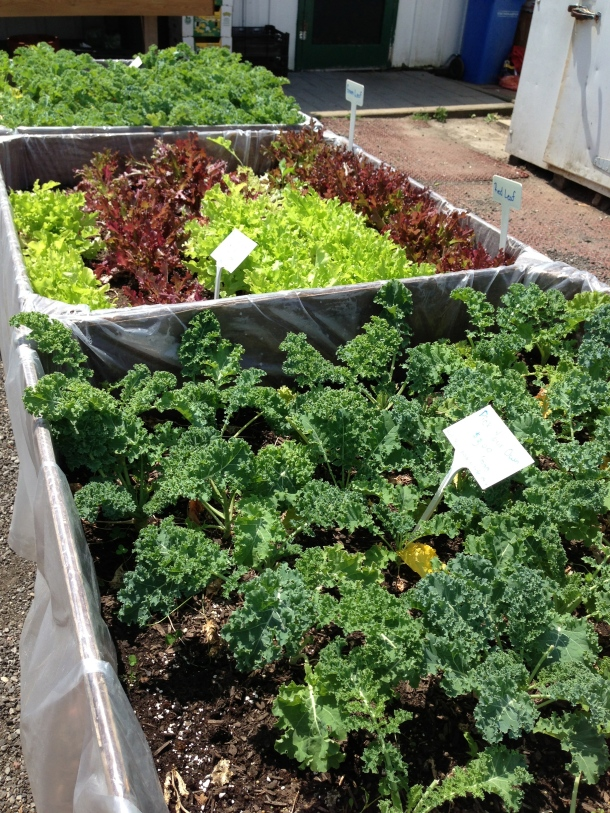 Pick your own lettuce and kale at Hy-Hope Farms!  Fill a bag as much as you can for only $3!